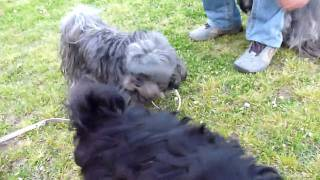 サプサル犬サミーと遊ぶチベタンテリアアニー.