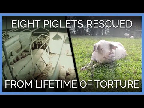 Eight Pigs Rescued After Lifetime of Torture