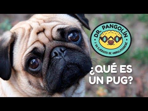¿Qué es un pug? - Dr. Pangolín y su Ejército de Animalitosbebé