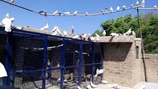 Malwai pigeons of ludhiana punjab