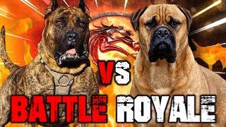 Presa Canario vs Bullmastiff   Bullmastiff vs Presa Canario   Powerful Guard Dog?   Billa Boyka  