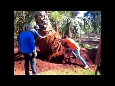 Transplante de Washingtonia