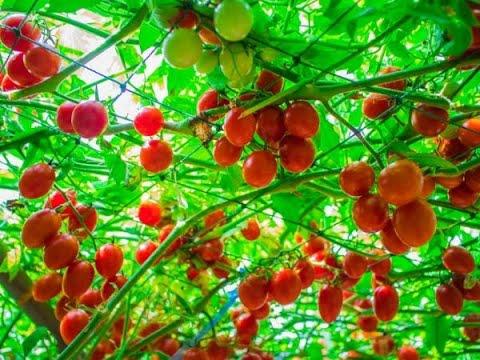 Как вырастить Помидорное дерево по ЭМ технологии
