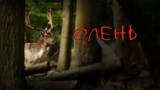 Олень - клип - видеопоэзия /Драма жажды жизни/ стих