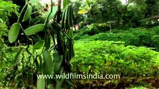 Vanilla Plantation in Southern India