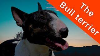 Reason I hate Bull terrier dog  /  Geomegz tv