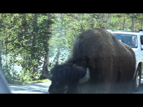 Bison running down the street in Yellowstone.