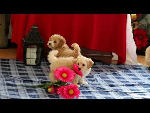 Maltipoo Puppies For Sale Jonas Stoltzfus