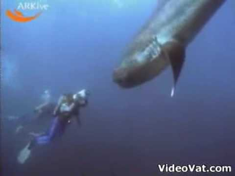 rare megamouth shark youtube