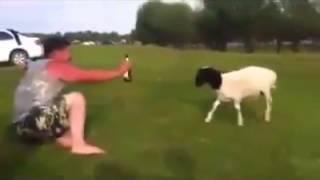 Согтуу хонь Sogtuu Honi