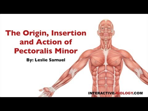 083 The Origin, Insertion, and Action of Pectoralis Minor