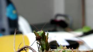 Mantis feeding (macro video recorded with CameraPro on Nokia 808 PureView)