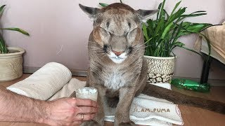 Russian Couple Adopted A Wild Animal, Now He's The First Domesticated Puma In The World.. thumbnail