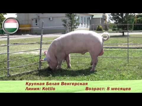 Фридом Фарм Бекон: племенные свиньи породы 'Крупная белая'