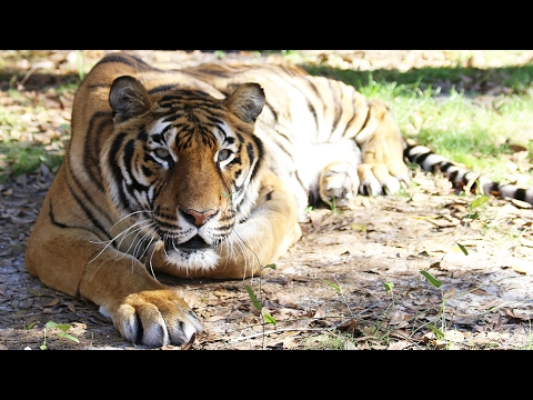 Thumbnail: Hoover Tiger's Birthday and Anniversary