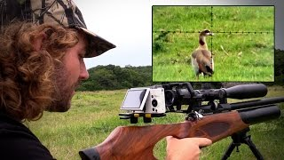 Egyptian Goose Pest Control with an Airgun