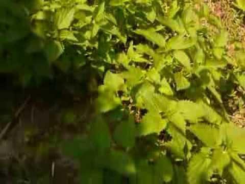 Urzica  -planta medicinala -Farmacia naturii