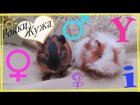 Как определить пол у морской свинки. Самка или самец? How to determine the sex of a guinea pig?