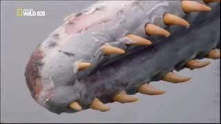 Хищники, самые опасные животные, видео, кашалот