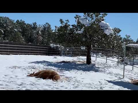 Bob Hauer - Palomino Horse Makes A Snow Angel