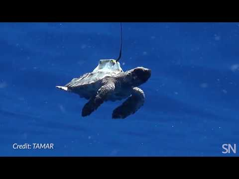 Watch a tagged sea turtle out for a swim | Science News