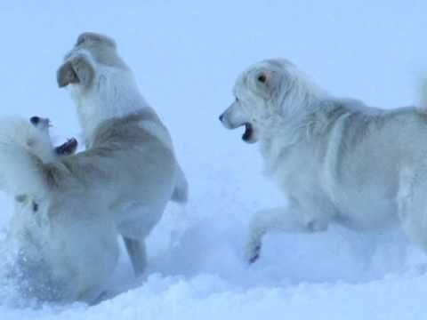 Livestock Guardian Dogs tussle in the newly powdered pasture.