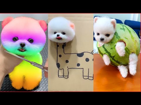 Tik Tok Chó Phốc Sóc Mini ? Funny and Cute Pomeranian #34
