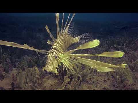 Крылатка золотого цвета - Rare Golden Lion Fish