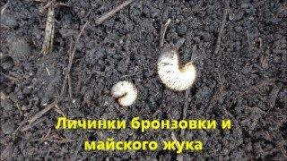 Личинки бронзовки и майского жука.