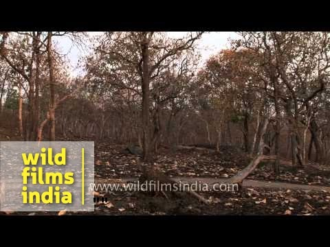 Dry deciduous forest of Bandipur National Park