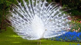 Beautiful White Peacock At National Park