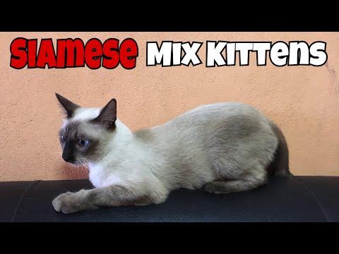 Siamese Mix Kittens, 3 Months