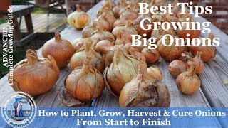 How to Grow Onions, Harvest Onions & Cure Onions from Start to Finish l Walla Walla Onions