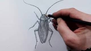 Как нарисовать таракана карандашом учимся рисовать насекомых поэтапно таракан