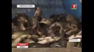 Рибгосподарства Мінської області починають масову ловлю риби
