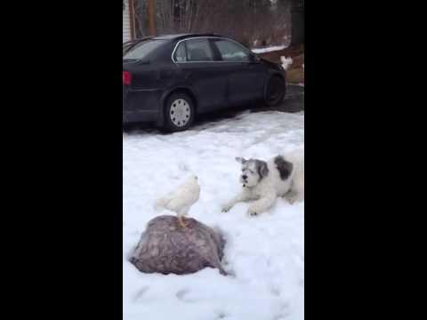 Polish Lowland Sheepdog vs. Chicken
