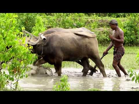Rice Farming Bangladesh Buffalo HD Video Free Download/paddy farming