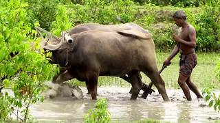 Rice Farming Bangladesh Buffalo HD Video Free Download/paddy farming