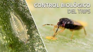 control biológico del trips orius laevigatus