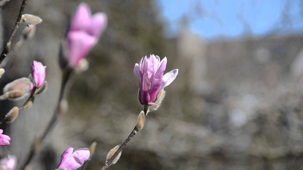 Magnolia Tree Blooming Youtube