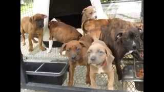 Boxer American Bulldog Mix Puppies!!