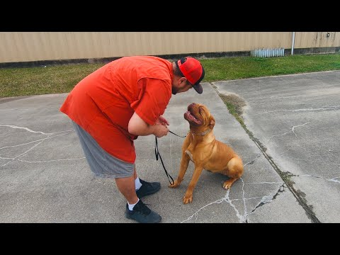 Stubborn Dogue De Bordeaux Puppy's 1st Leash Session! The Drama and The reluctance is high!