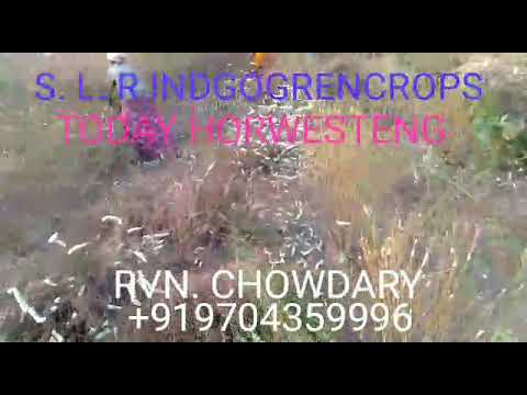 SLR organic nachural indigo  seeds  crop  todaya 5-1-2018. Horwesting work.  +919704359996