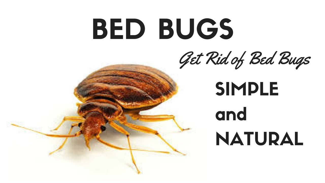 image bed bug closer mattress pest attack control activities sydney dsc bugs of around orig exterminator