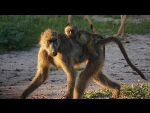 CHOBE Safari 2016