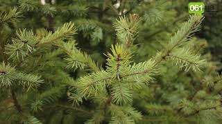 Как в Запорожье на продажу выращивают новогодние елки