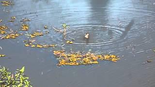 pato   selvagem   nadando  na  represa  ,  flagrante  animal.