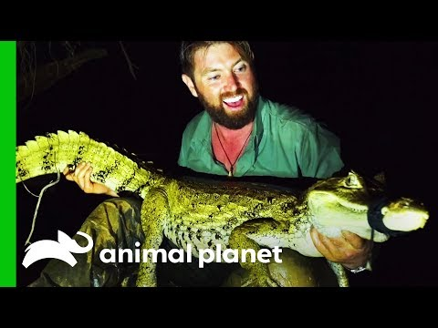 Forrest Gets Proof That The Rio Apaporis Caiman Is NOT Extinct! | Extinct Or Alive?