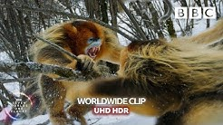Animal fights: Snub-nosed snow monkeys fight 👊 | Seven Worlds, One Planet - BBC Earth