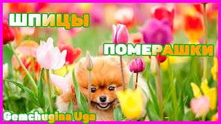 Щенки Померанского Цверг Шпица (Pomeranian Spitz-Dog)